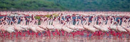 lesser: Hundreds of thousands of flamingos on the lake. Kenya. Africa. Nakuru National Park. Lake Bogoria National Reserve.