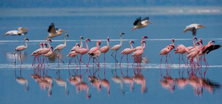 lesser: Flamingos on the lake with reflection. Kenya. Africa. Nakuru National Park. Lake Bogoria National Reserve.