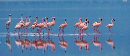 Flamingos on the lake with reflection. Kenya. Africa. Nakuru National Park. Lake Bogoria National Reserve. An excellent illustration.