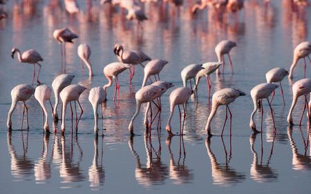 nakuru: Flamingos on the lake with reflection. Kenya. Africa. Nakuru National Park. Lake Bogoria National Reserve. An excellent illustration.