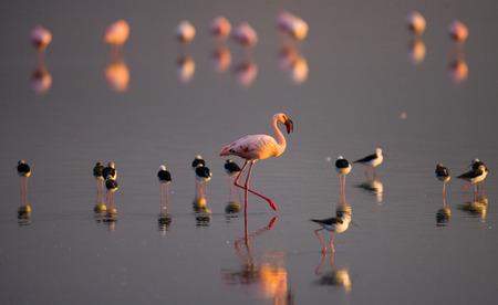 lesser: Flamingos on the lake. Kenya. Africa. Nakuru National Park. Lake Bogoria National Reserve. An excellent illustration.