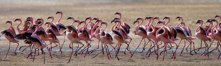 nakuru: Flamingos on the lake. Kenya. Africa.