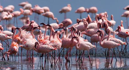 lesser: Flamingos on the lake. Kenya. Africa.