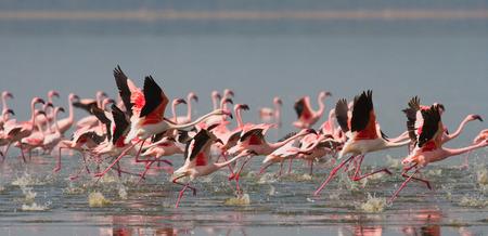lesser: Huge flock of flamingos taking off. Kenya. Africa. Stock Photo