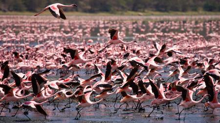 lesser: Group of flamingos before takeoff. Kenya. Africa. Stock Photo
