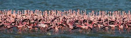 nakuru: Big group flamingos on the lake. Kenya. Africa.