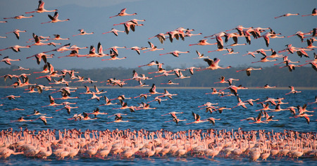 kenya: Flamingos in flight. Kenya. Africa. Stock Photo
