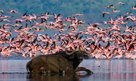 lesser: Buffalo lying in the water on the background of big flocks of flamingos. Kenya. Africa.