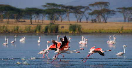 nakuru: Group of flamingos before takeoff. Kenya. Africa. Stock Photo