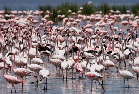 lesser: Big group flamingos on the lake. Kenya. Africa.