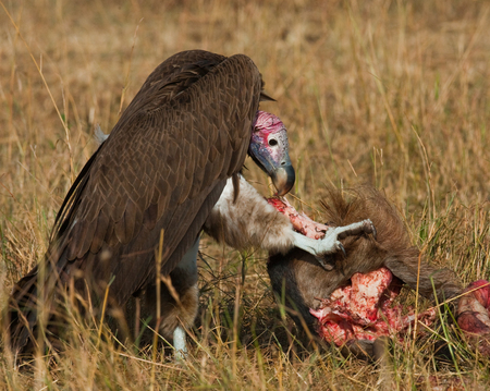 Predatory bird is eating the prey in the savannah. Kenya. Tanzania. East Africa.