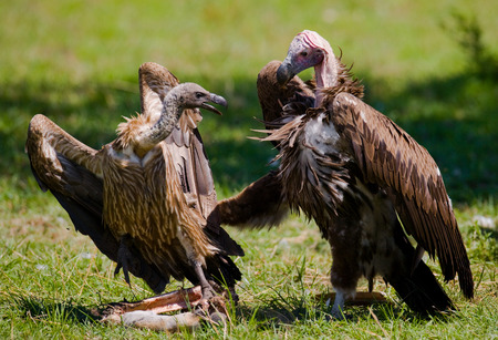 Predatory birds are fighting with each other for the prey. Kenya. Tanzania. East Africa. Stock Photo
