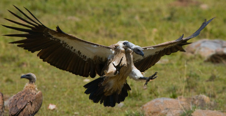 Predatory bird in flight. Kenya. Tanzania.  East Africa. Stock Photo