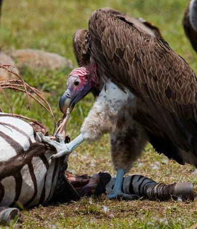 Predatory bird is eating the prey in the savannah. Kenya. Tanzania. Safari. East Africa. An excellent illustration.