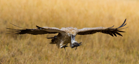Predatory birds in flight. Kenya. Tanzania. East Africa. Stock Photo