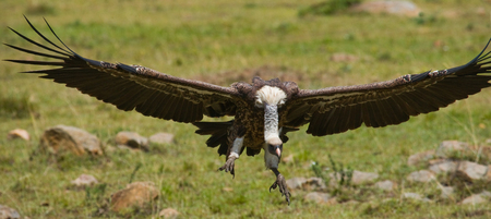 Predatory bird in flight. Kenya. Tanzania. Safari. East Africa. An excellent illustration.