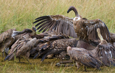 Predator birds are sitting on the ground. Kenya. Tanzania. East Africa. Stock Photo