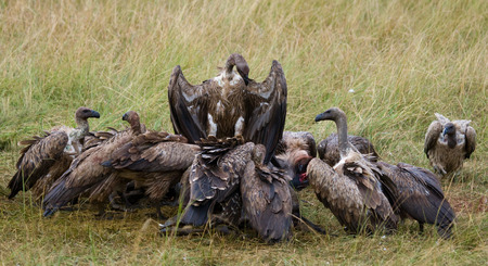 Predator birds are sitting on the ground. Kenya. Tanzania.East Africa. Stock Photo