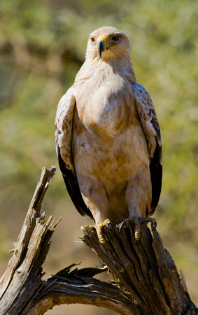 Predatory bird is sitting on a tree. Kenya. Tanzania.East Africa. Stock Photo