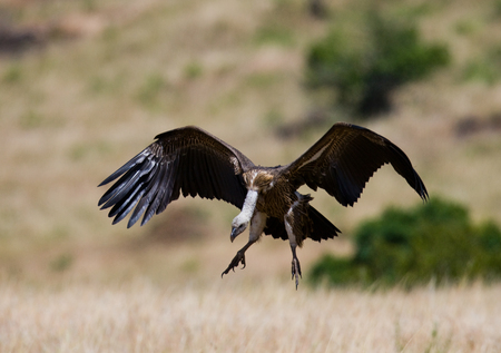 Predatory bird in flight. Kenya. Tanzania.East Africa.