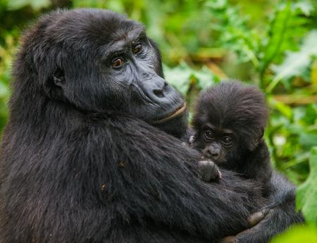 Un gorila de montaña femenino con un bebé. Uganda. Foto de archivo