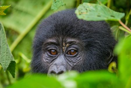 Een baby berggorilla in een boom. Oeganda. Stockfoto