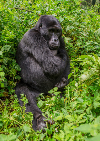 Dominant male mountain gorilla in the grass. Uganda.