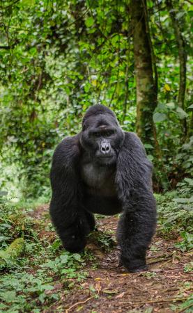 熱帯雨林の支配的な男性マウンテン ゴリラ。ウガンダ。