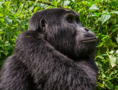 heritage protection: Portrait of a mountain gorilla. Uganda. Bwindi Impenetrable Forest National Park. An excellent illustration.