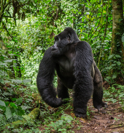 dominant: Dominant male mountain gorilla in rainforest. Uganda. Bwindi Impenetrable Forest National Park. An excellent illustration. Stock Photo