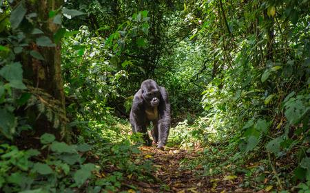 Dominante mannetje berggorilla in regenwoud. Oeganda. Stockfoto