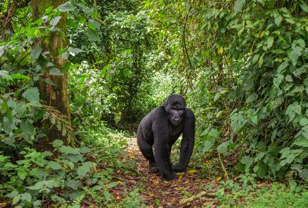 Dominante gorila de montaña masculina en la selva tropical. Uganda.
