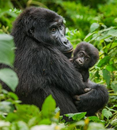 Een vrouwelijke berggorilla met een baby. Oeganda.