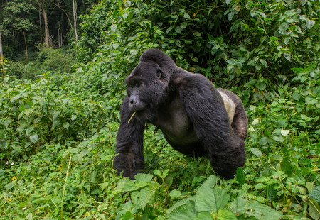 Dominant male mountain gorilla in rainforest. Uganda. Bwindi Impenetrable Forest National Park. An excellent illustration. Stock Photo