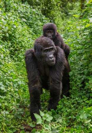 A female mountain gorilla with a baby. Uganda. Stock Photo
