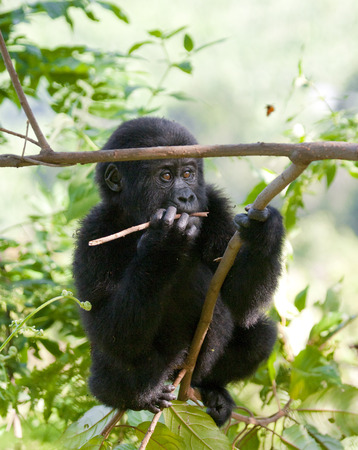 A baby mountain gorilla in a tree. Uganda.