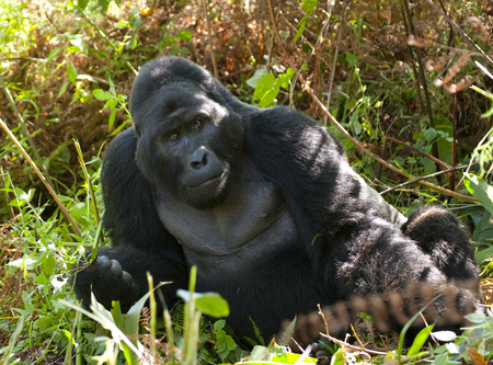 dominant: Dominant male mountain gorilla in rainforest. Uganda.