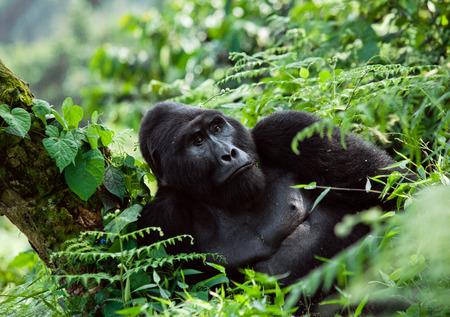 Dominante mannetje berggorilla in regenwoud. Oeganda. Bwindi Impenetrable Forest National Park. Een uitstekende illustratie.