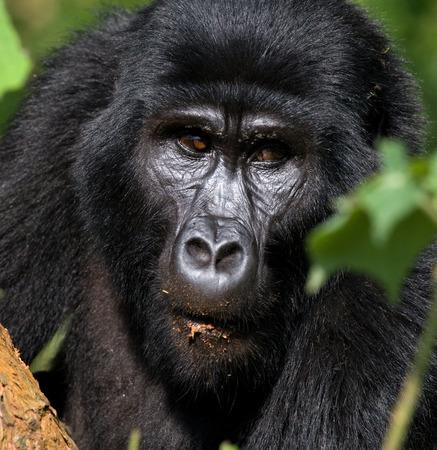 Portrait of a mountain gorilla. Uganda.