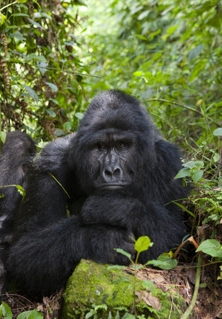 Dominant male mountain gorilla in rainforest. Uganda.