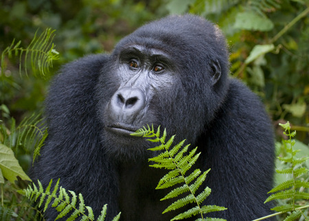 Dominant male mountain gorilla in rainforest. Uganda. Bwindi Impenetrable Forest National Park. An excellent illustration. Stok Fotoğraf