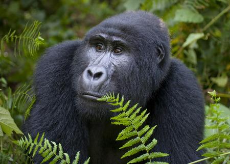 ottimo: Dominante gorilla di montagna maschio nella foresta pluviale. Uganda. Bwindi Impenetrable National Park Forest. Un ottimo esempio.