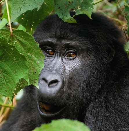 Portrait of a mountain gorilla. Uganda.