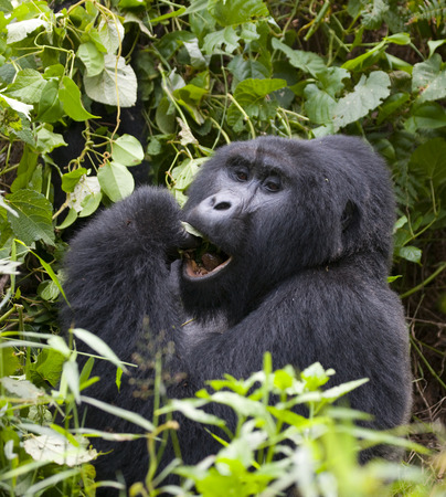 Mountain gorilla eating plants. Uganda.