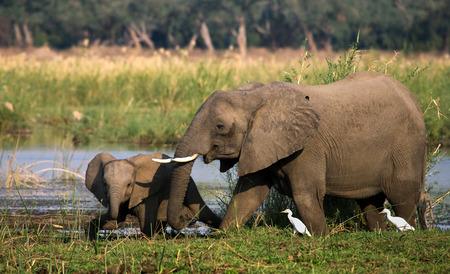 poaching: Elephant with baby near the Zambezi River. Zambia. Stock Photo