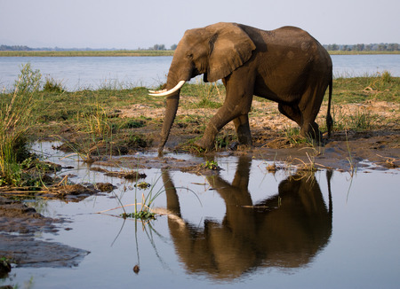 poaching: The elephant stands next to the Zambezi river with reflection in water. Zambia.