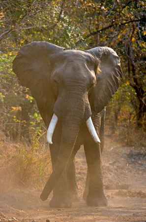 angry elephant: Angry elephant standing on the road. Zambia Stock Photo