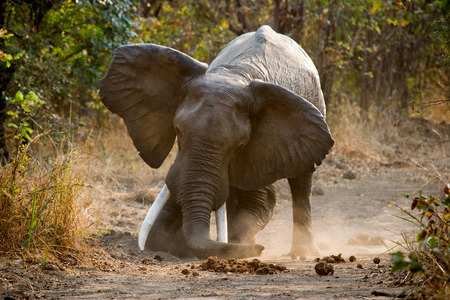 poaching: Angry elephant standing on the road. Zambia. Stock Photo