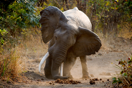 Angry elephant standing on the road. Zambia. Stock Photo