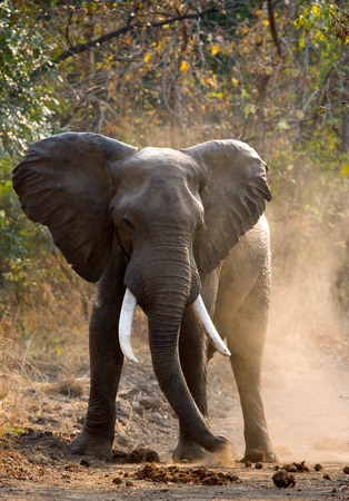 angry elephant: Angry elephant standing on the road. Zambia. Stock Photo
